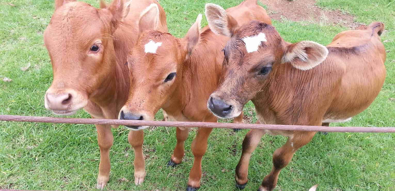 Our 3 friendly calves